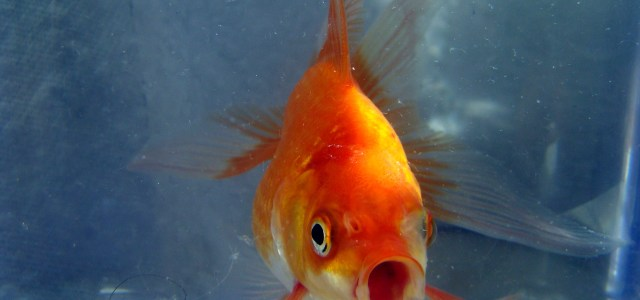 Goldfish are popular thanks to, amongst other attractions, being one of the most low maintenance pets available. Less well known, however, is their astounding resilience. […]