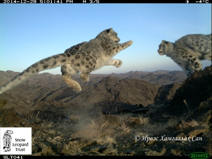 Snow Leopard Cubs at play caught with automatic Camera near our placement sites