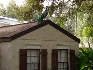 florida-peacock-home