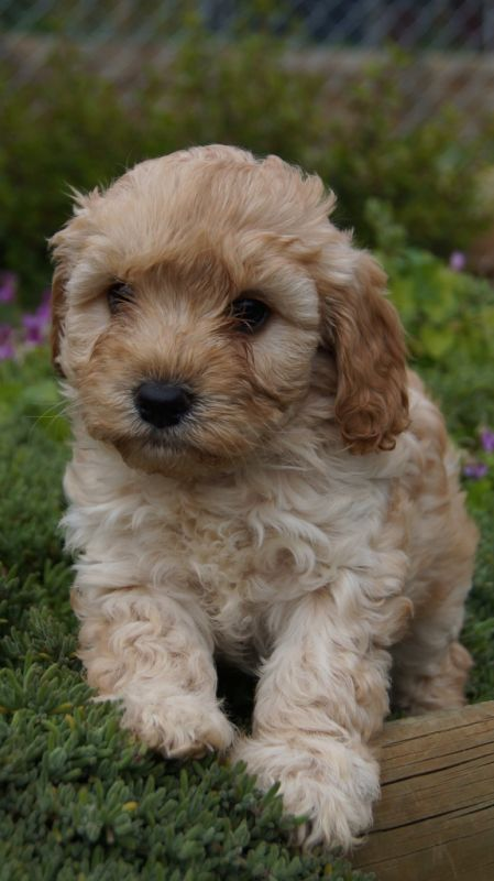 Black And Red >> Cavoodles – Banksia Park Puppies