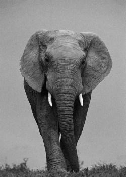 Elephant, portrait n&b