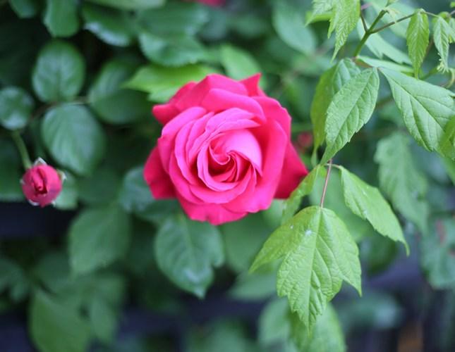 rose affiche ©thinkstock banque de l'image