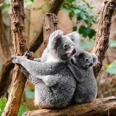 cd-koala-1259681-pixabay-30x15