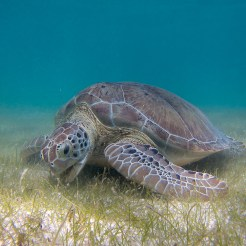 P.Lindgren-Green_Sea_Turtle_grazing_seagrass