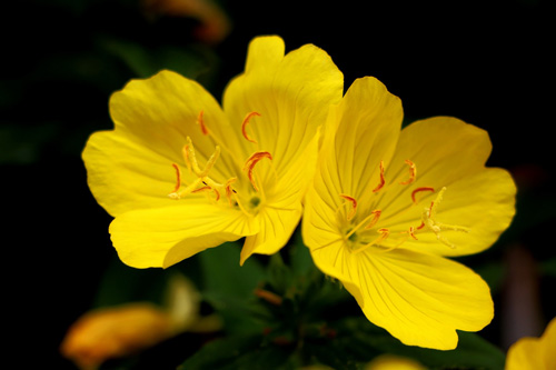 evening primrose Image by manseok on Pixabay