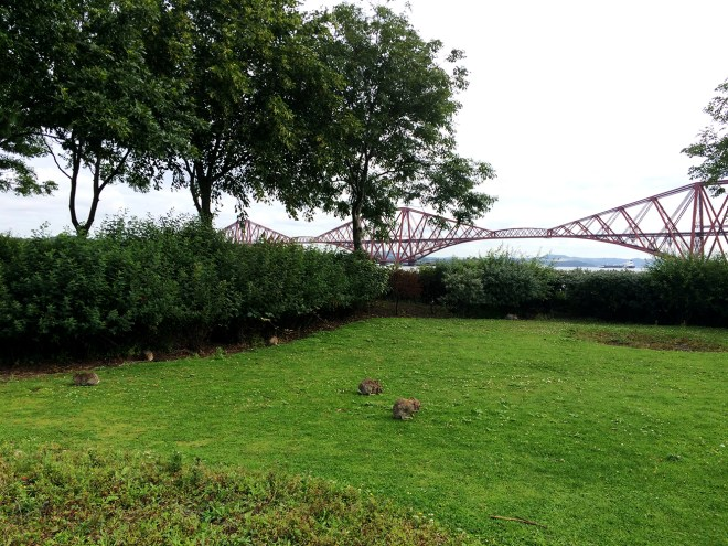 Des lapins peu farouches à Queensferry et le Forth bridge au second plan
