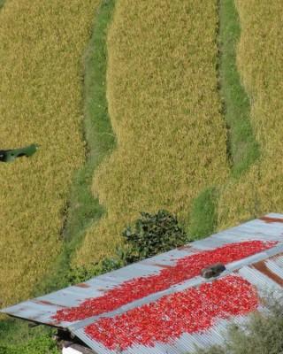 Rizières et piments séchant sur un toit au Bhoutan