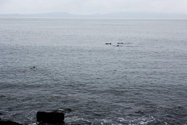 Une bande de dauphins en balade au sud de l'ïle de Mull, Ecosse