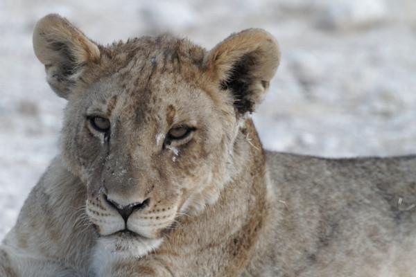 Lionne-Namibie-blog-bar-a-voyages