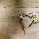 Cœur gravé dans le tronc d'un arbre dans le parc naturel de la Jacques Cartier- Québec
