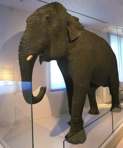 éléphant du Muséum de Bordeaux
