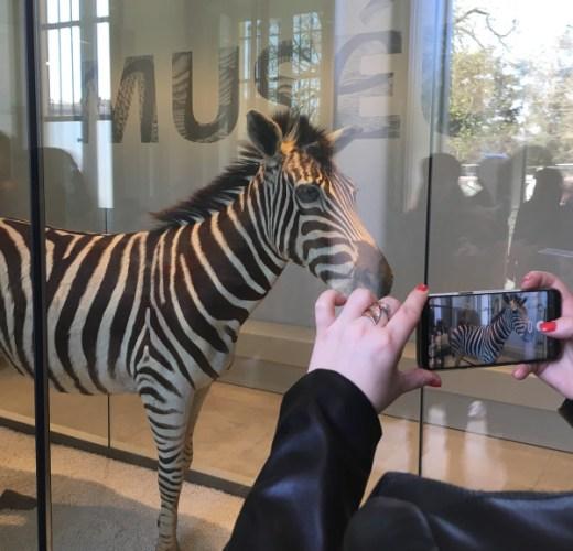 zèbre pris en photo par un smartphone