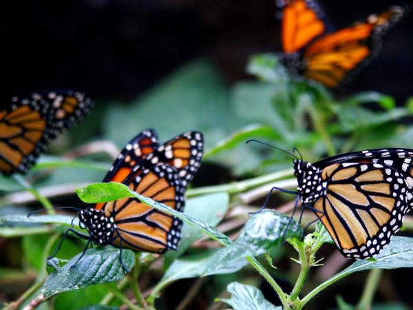 Papillons au parc Selvatura