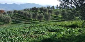 In Italia si produce olio di grande qualità