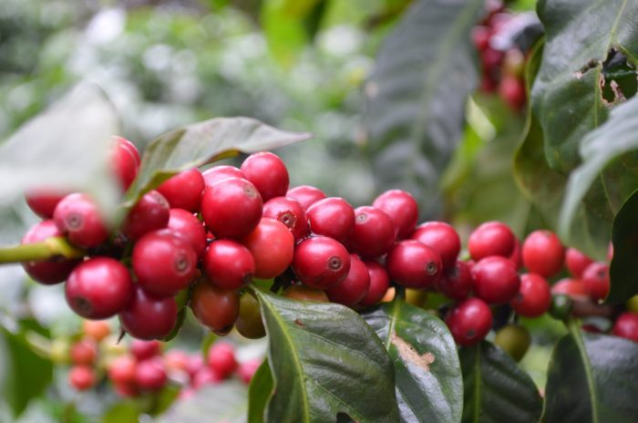 Umami-Coffee-Camp-Honduras