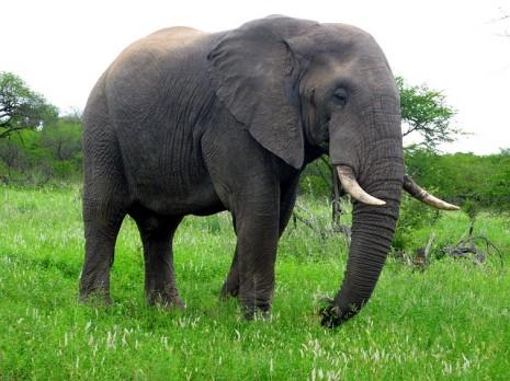 تفسير رؤية الفيل في المنام للشيخ المفسر ابن سيرين