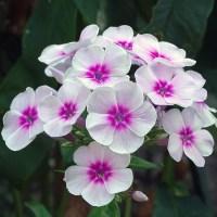 Lángvirág_rózsaszín