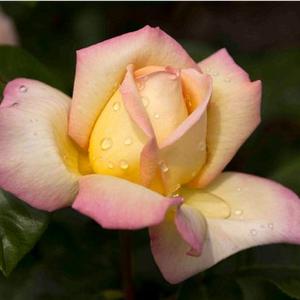 Rosa Aimée