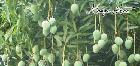 Mango Tree Barbados Pocket Guide