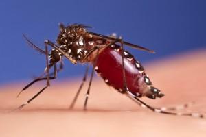 denguemosquito