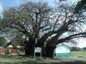 The baobab tree in Queen's Park –– over 1,000 years old and bearing evidence of the ancient reach of the Constitution River.