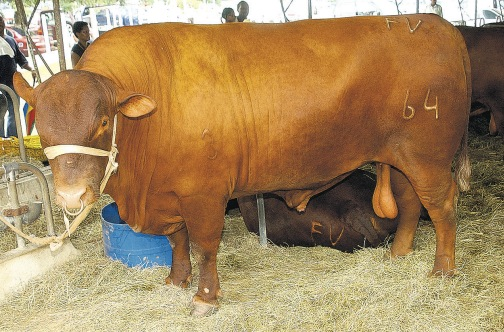 A bull like this one will be tagged on the ear as part of government's plan to fight praedial larceny.