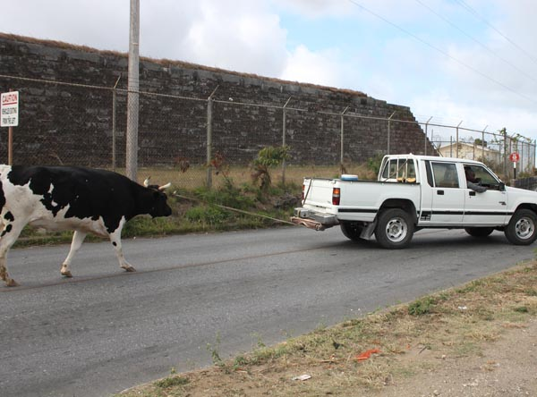 COW_1066
