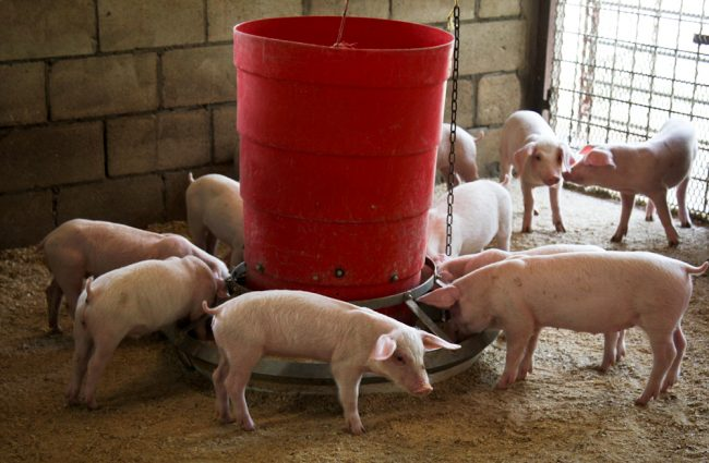 With the growing detection of PED, officials are saying pork is still safe to eat.