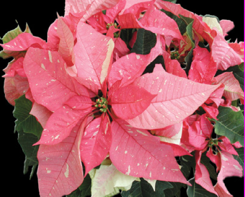 It is said the shape of the poinsettia flower and leaves are a symbol of the Star of Bethlehem which led the Wise Men to Jesus. The red leaves symbolize the blood of Christ; the white leaves,  His purity.