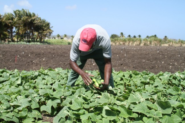 Frederick Barrow picking some cucumbers on his farm in Kirton's, St Philip today.