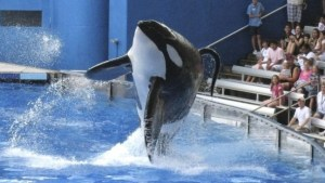SeaWorld keeps nearly 30 orcas, also known  as killer whales, in captivity.