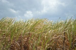 The ongoing drought has taken its toll on this year's sugar crop.
