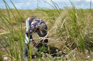 Grantley Hurley pulling weeds in the canefield.