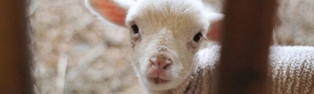 Paschal Lamb