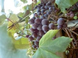 Grapes as an antioxidant