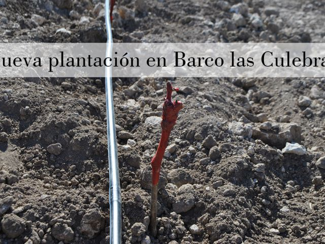 Nuevos inicios en Barco las Culebras: ¡plantando el nuevo viñedo!