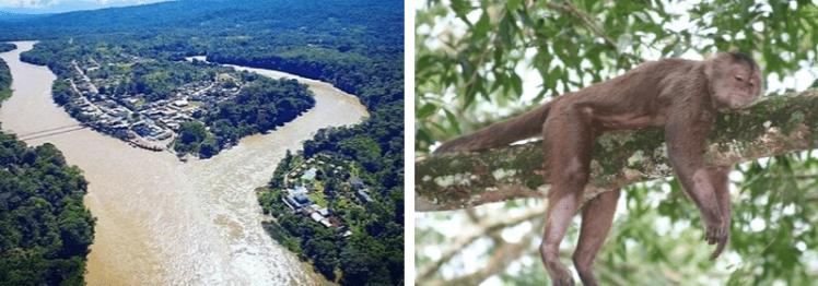 Misahualli Monkey