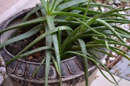 my aloe plant_small