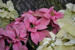 beautiful backyard poinsettias_small