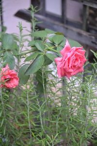 Rose Mary 2_small