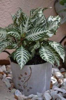 Snow White plant_small