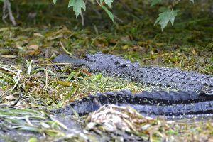 Julies alligator close up_small
