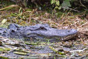 Julies alligator photo_small
