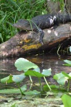 alligator slider_small