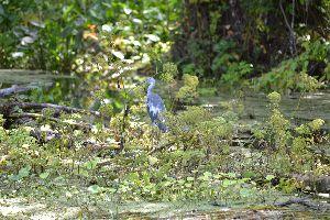 beautiful blue heron_small