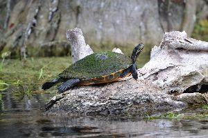 beautiful turtle_small