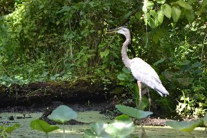 blue heron_small