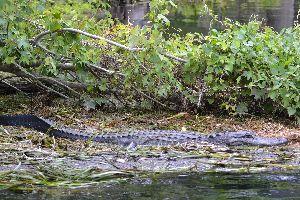 large alligator_small