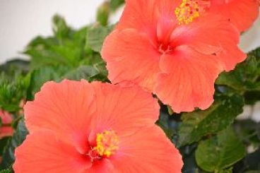 Red Hibiscus_small