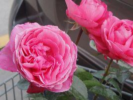 beautiful roses_small